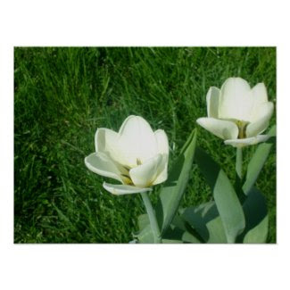 White Tulips Poster print