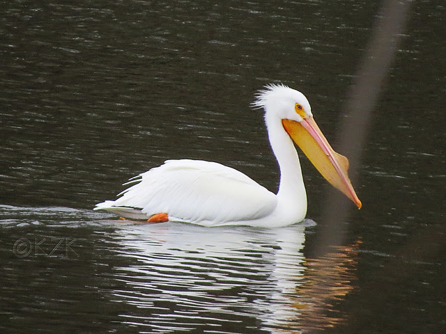 IMG_0623cps American White Pelican