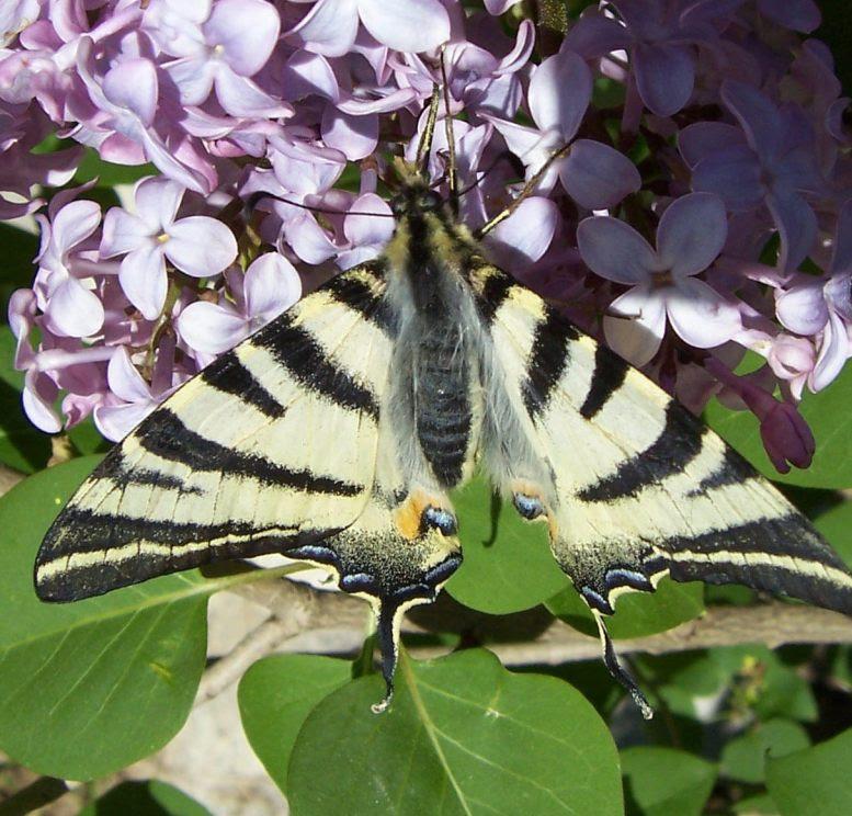 Photo de papillon : flambé - iphiclides podalirius