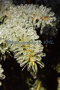 spruce pine needles encased in ice