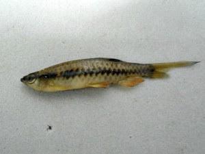Pyrrhulina zigzag foi encontrada em vários pontos da margem do Rio Solimões (Foto: Jonas Oliveira/Instituto Mamirauá)