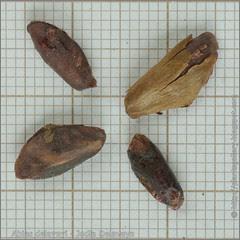 Abies delavayi seeds - Jodła Delaveya nasiona