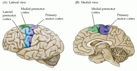 The primary motor cortex and the premotor area in the human cerebral cortex as seen in lateral (A) and medial (B) views. The primary motor cortex is located in the precentral gyrus; the premotor area is more rostral.