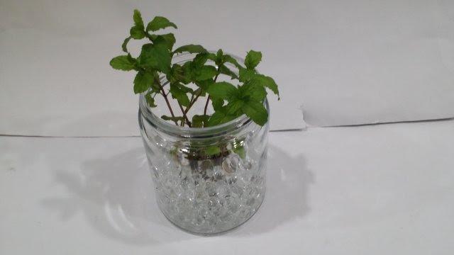 100円ショップのジェリーボールを使って観葉植物やハーブを室内
