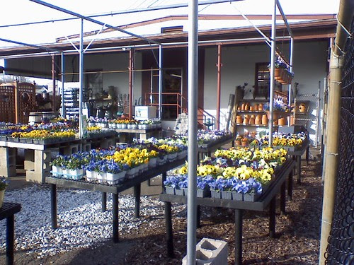 Sign of spring  the pansies are out for sale at Agway  Franklin