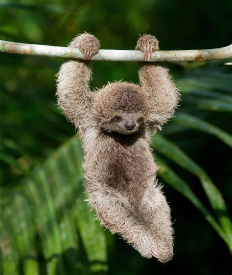 Baby sloth, these laidback mammals hang on trees in the jungles of Central and South America