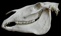 Horse skull.Museum d'histoire naturelle.Paris.
