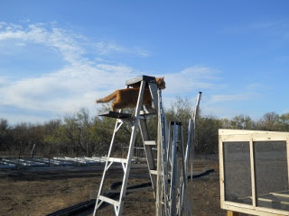 William the Cat Supervising Meat Dryer Construction