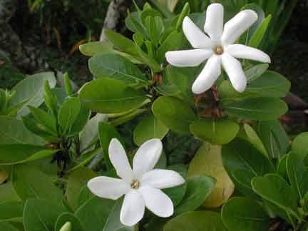 Qué Significan Las Flores En El Pelo Para Los Polinesios Blogodisea