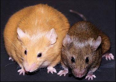 Figure 3: Agouti mice
