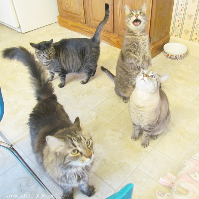 cats begging for food2