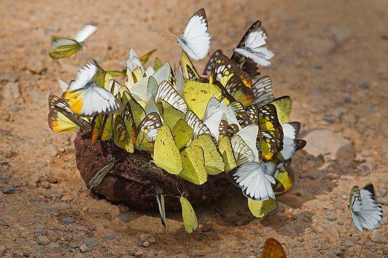 File:Butterflies on elephant dung - Kaeng Krachan.jpg
