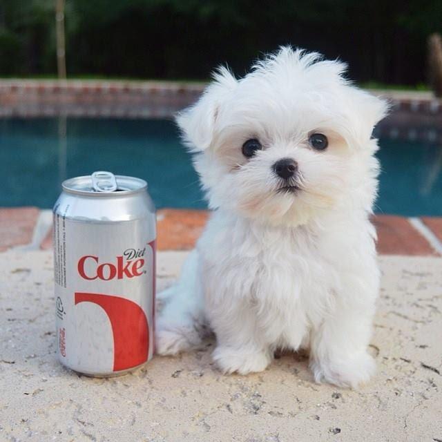 Maltese Puppies For Sale | Nebraska USA