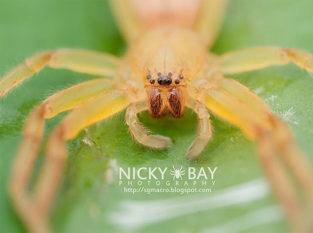 Huntsman Spider (Sparassidae) - DSC_4768