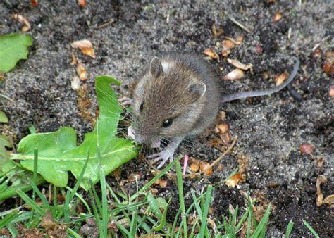 Mäuse vertreiben   Ungeziefer im Haus