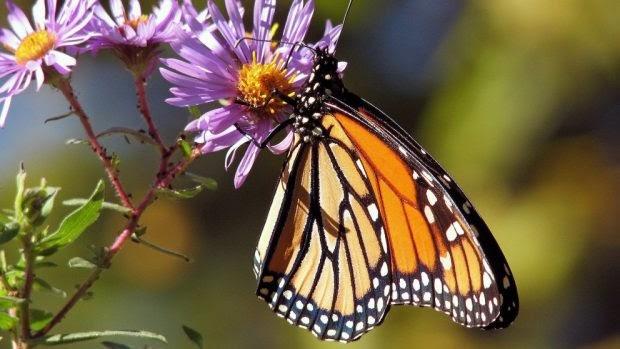 La curiosa migración de la mariposa monarca