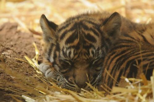 Tigerbabys by Joachim S. Müller