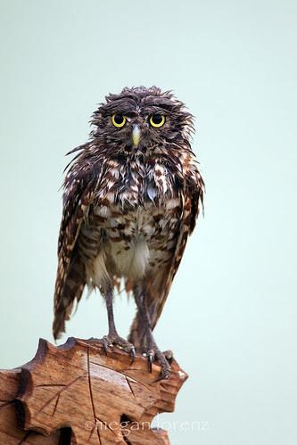 Wet Owl by Megan Lorenz