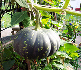 http://upload.wikimedia.org/wikipedia/commons/thumb/d/d2/Pumpkin_with_stalk.jpg/265px-Pumpkin_with_stalk.jpg