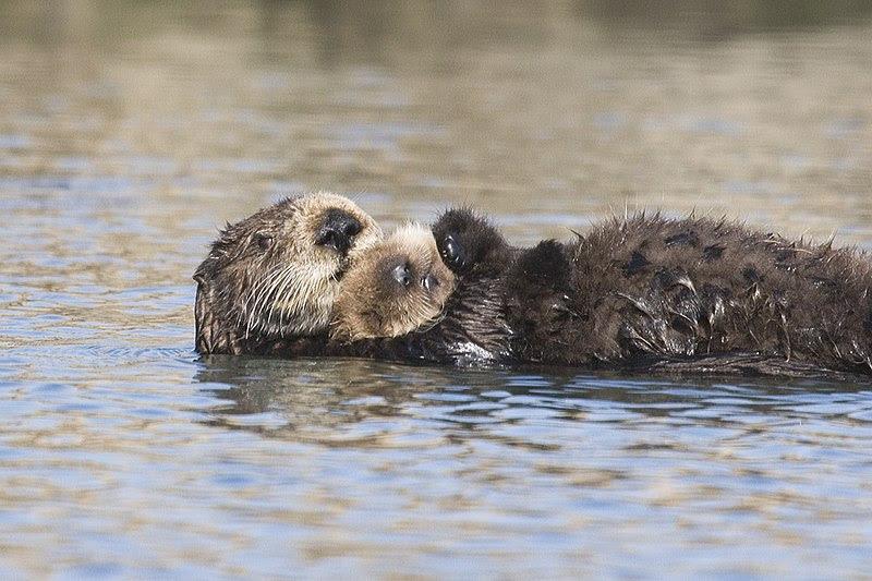 File:Sea-otter-bay 11.jpg