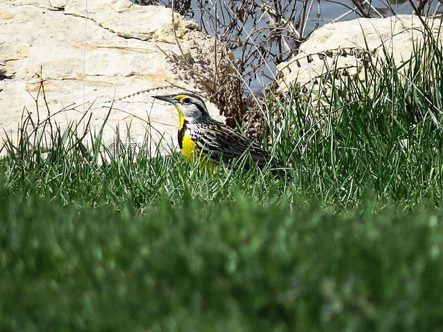IMG_2611cps Meadowlark