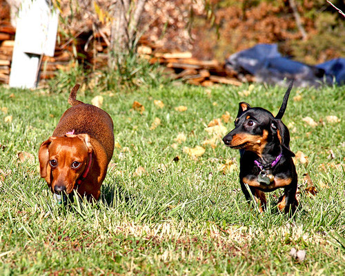 It was a beautiful weekend here, so I took the dogs out for a romp in the side yard on Saturday.  They ran around playing and chasing each other having a great time!