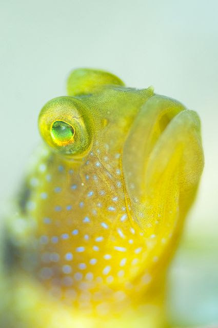 Goby fish. S)