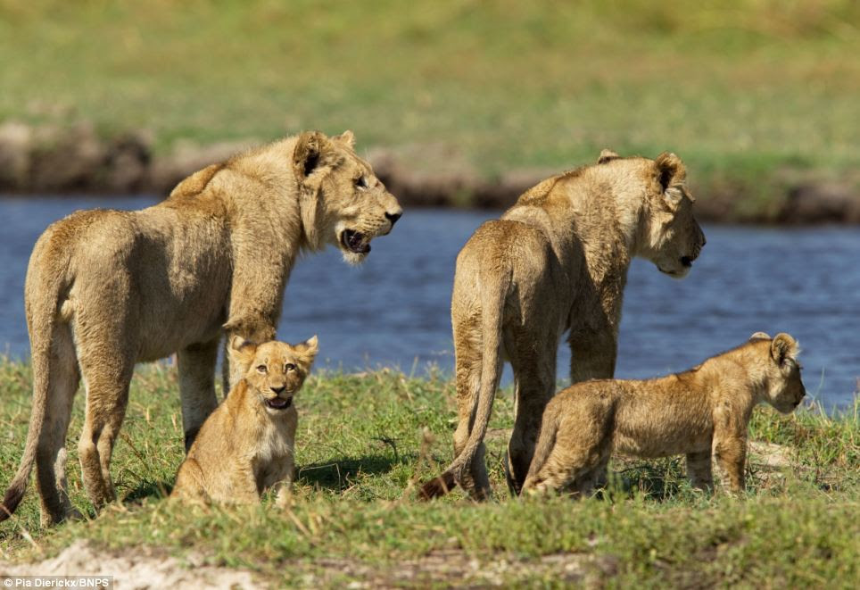 Watchful: The lioness can be seen surveying the water as her pride waits to cross the river in Botswana's Okavango Delta