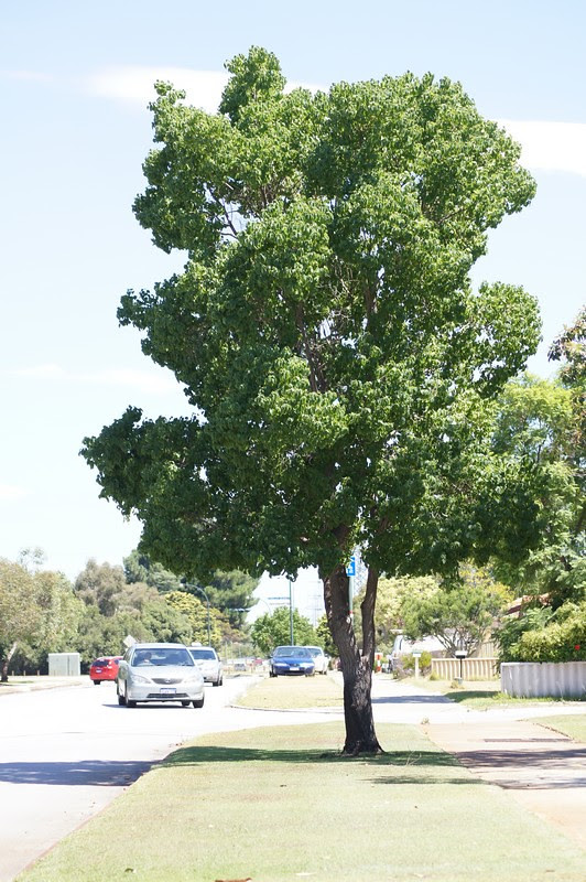 Chinese Tallow Tree Taxon Triadica Sebifera Synonym