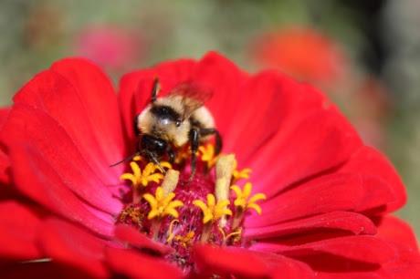 Bumblebee zinnia sized