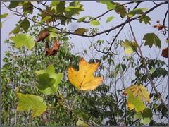 34 yellow leaf