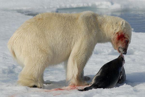 Osos Polares En Peligro De Extincion Osopolarpedia