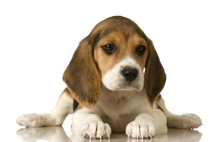 El Beagle
