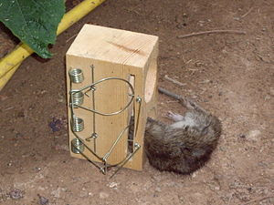 A rat caught in a rat trap
