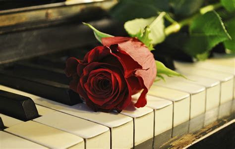 Rose sur le piano Papier peint   AllWallpaper.in #15622