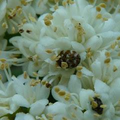 Closer view of a carpet beetle