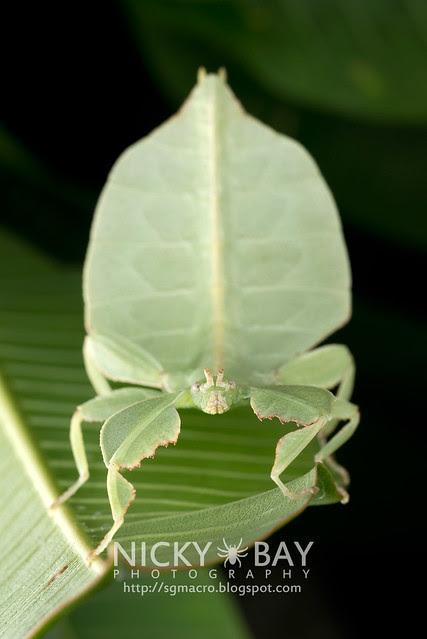 Gray's Leaf Insect (Phyllium bioculatum) - DSC_4983