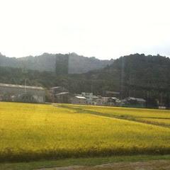 rice fields #japan #autumn