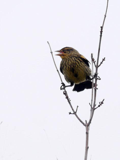 Ed Gaillard: birds &emdash; Young male Red-Winged Blackbird, Quincy MA