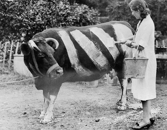 An Essex farmer paints a herd of black cows with white stripes in case they should wander on the road after dusk, so they will be visible to the motorists in the blackout