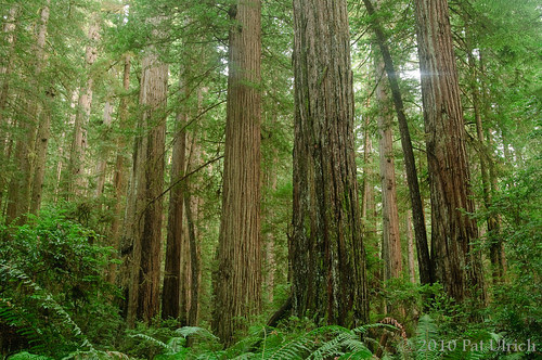 Redwoods for Earth Day
