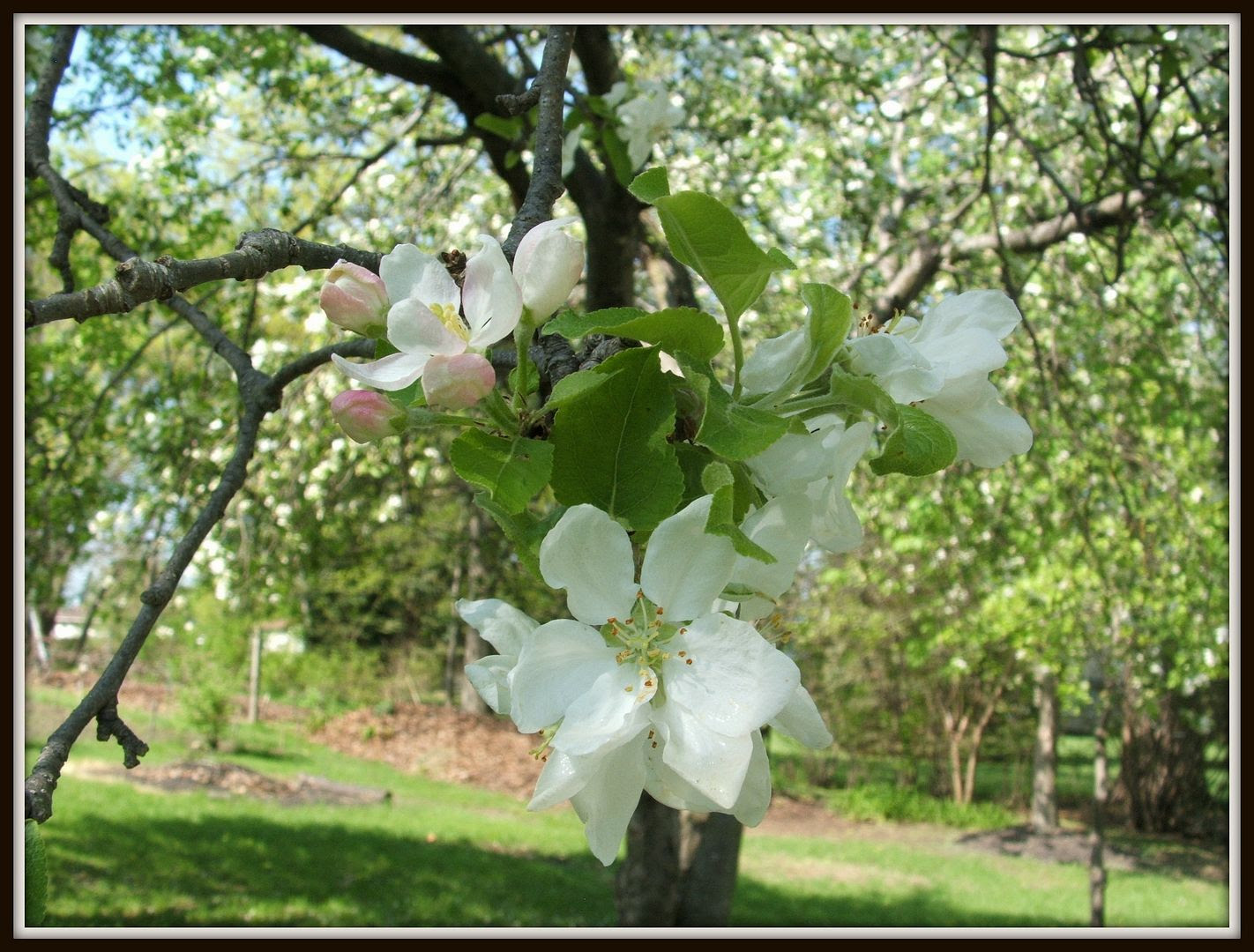Blooming Blossoms by Angie Ouellette-Tower for godsgrowinggarden.com photo 014_zps550777db.jpg