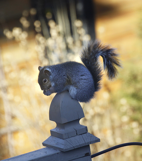 theiving squirrel2