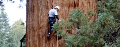 In this October, 2010, photo provided by Archangel Ancient Tree Archive, group member Jake Milarch climbs the Waterfall Tree, a famed giant sequoia that measures 155 feet in circumference at bottom, near Camp Nelson, Calif. Milarch gathered cuttings from the tree to develop clones for Archangel's project to restore ancient forests. (AP Photo/courtesy of Archangel Ancient Tree Archive)