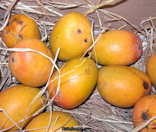 Types Of Mango  King of Fruit