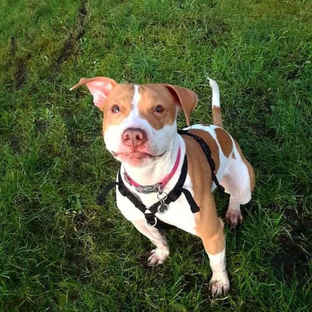Sammy – 1 year old male Jack Russell Terrier cross Staffordshrie Bull Terrier