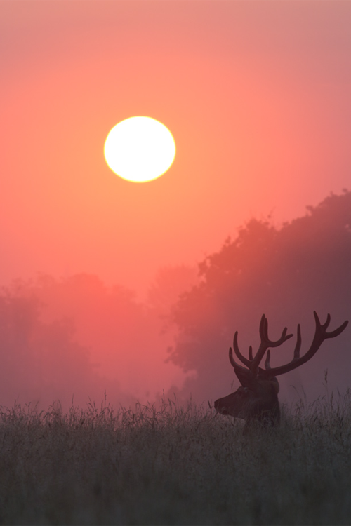 wonderous-world:  Stag Sunrise byAlex Saberi  NATURE'S BEAUTY Even the deer pauses to watch The sun rise in the morning.