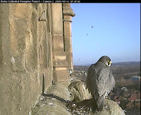 Typical image featured in The Peregrines of Derby Cathedral