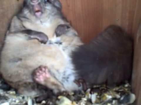 video que muestra como un ardilla obesa está atrapada en un cajón de comida