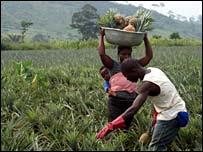 Picking pineapple crop in Ghana